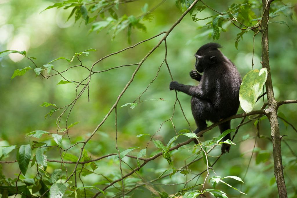 Tangkoko forestIndonesia